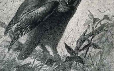 Seton Writes About Long Eared Owl