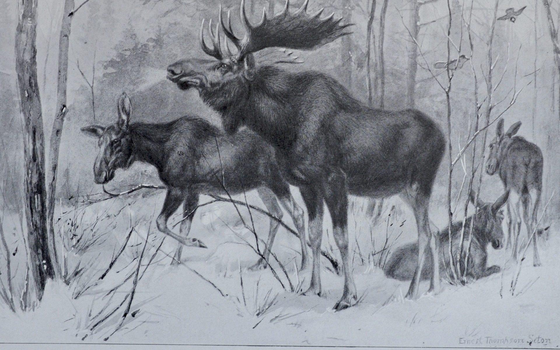The Moose by Seton