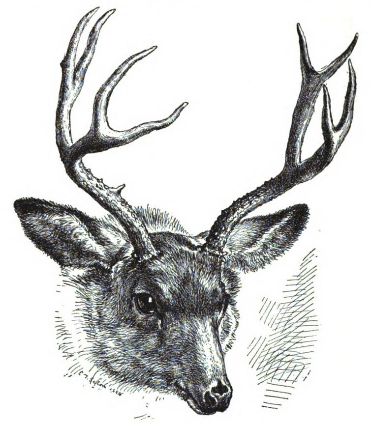 Mule deer by Seton