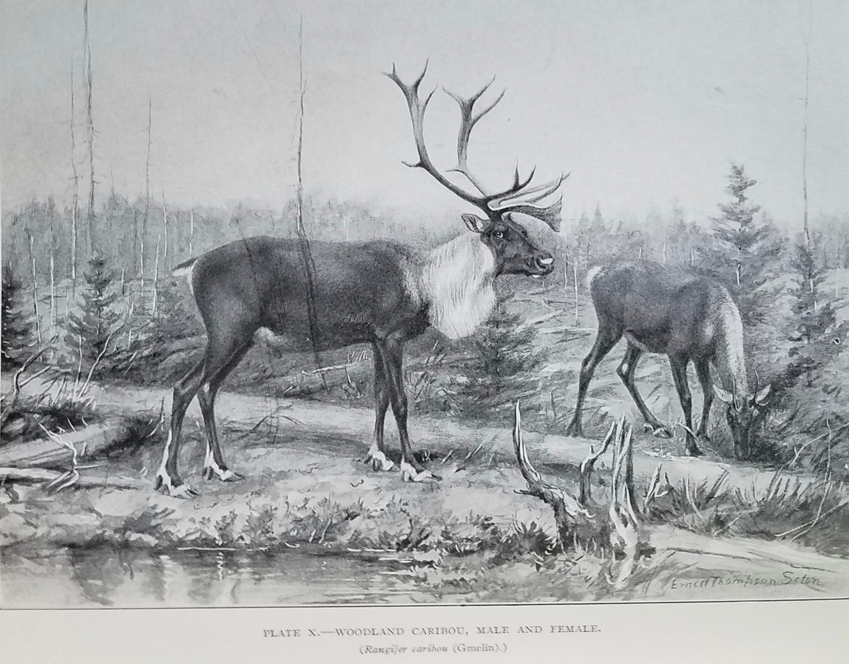 Woodland Caribou by Ernest Thompson Seton